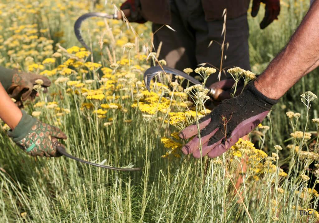 Männer mit Handschuhe ernten mit einer Sichel die Immortellenpflanzen